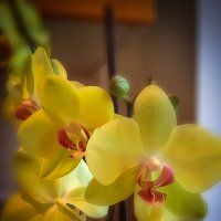 Орхидея.Фаленопсис. :: Татьяна Калинкина