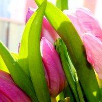 тюльпаны :: Алена Желонкина