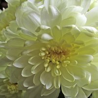 Лепестки хризантемы :: Татьяна Осипова(Deni2048)