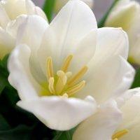 Белый тюльпан :: Валерий Судачок