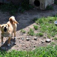 ...и каждому ясно, что эта собака... :: Ольга Нарышкова