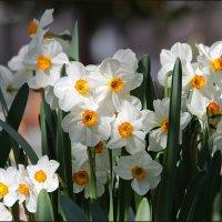 Весенние цветы :: LIDIA PV