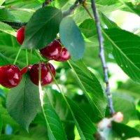 Про вишни... :: Михаил Болдырев