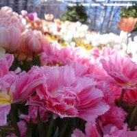 """Тюльпаны. Выставка """"Репетиция весны"""" :: Galina194701"""