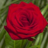 Роза красная ... :: Сергей Сердечный