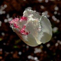 Необычный тюльпан ! :: Damir Si