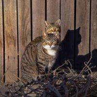 кошкины будни :: Ирэна Мазакина