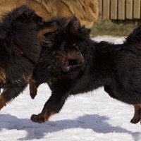 Игры тибетских мастифов :: Евгений Дубенецкий