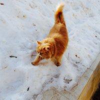 Рыжик на снегу :: Svetlana27