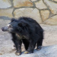 Медведь-шатун :: Nikolay Monahov