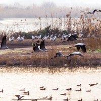 летят перелётные птицы :: Валерий Цингауз