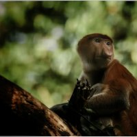 Носач или кахау...Распространён исключительно на острове Борнео.Малайзия... :: Александр Вивчарик