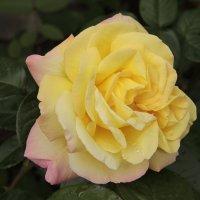 Роза :: Tanika Неделенко