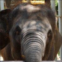 Слонёнок :: Наталия Григорьева