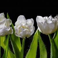 Белые тюльпаны :: Светлана Л.