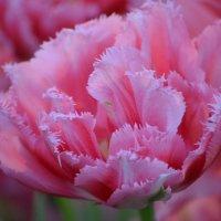 Просто весна! Просто хочу тюльпанов! :: Ольга Русанова (olg-rusanowa2010)