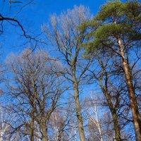 Ветви, ждущие солнца :: Светлана Лысенко
