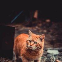 тигра :: Евгений Дронов