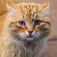 Дикий кот :: Николай Николенко