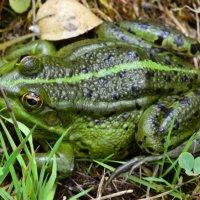 Зелёная лягушка. :: Алексей Жуков