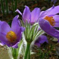 Первоцветы лесные :: Ната Волга