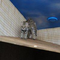 Азиатский леопардовый кот :: Елена Павлова (Смолова)