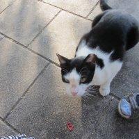 Кот похожий на Кличко :: Герович Лилия