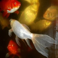 Золотая рыбка :: Галина