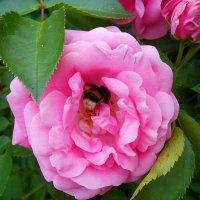 В розовых лепестках :: *ALISA* ( minck55 )