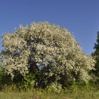 Яблоня в цвету :: Виктор Башкирцев