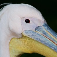 Пеликан-великан :: Swetlana V