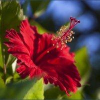красный-прекрасный :: liudmila drake