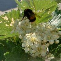Посадка шмеля на цветы боярышника :: Нина Корешкова
