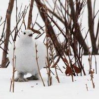 Белая куропатка :: Александр Велигура