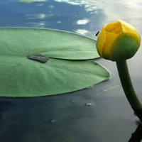 Желтая, речная кувшинка :: Павлова Татьяна Павлова