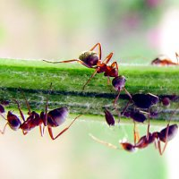 Про муравьёв... :: Михаил Болдырев