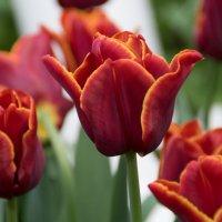Тюльпаны :: Witalij Loewin