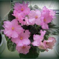 Цветёт   моя красавица ! :: Мила Бовкун