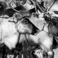 северный олень :: евгений Смоленцев