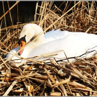 Лебедь на гнезде. :: Валерия Комова
