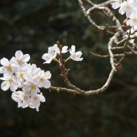 sakura :: Slava Hamamoto