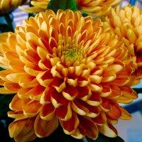 Прекрасные хризантемы :: Светлана Лысенко