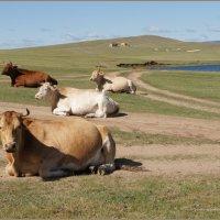 Байкальские коровы :: Наталия Григорьева