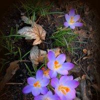 Мартовские первоцветы :: Сергей Карачин