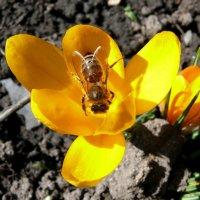 Золотая пчела на весеннем цветке :: Елена Елена