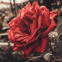 Роза :: Ирина Федоренко