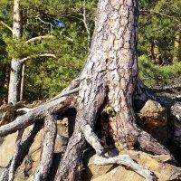 ....и на камнях растут деревья... :: Светлана Игнатьева