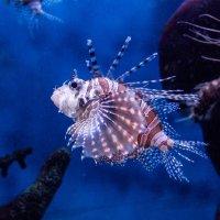 рыбка-красавица :: Елена Аксамит