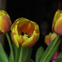 Тюльпаны к 8 Марта :: Виктор