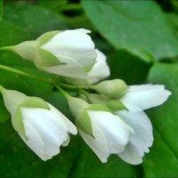 Цветёт жасмин, и счастье бесконечно! :: Нина Корешкова